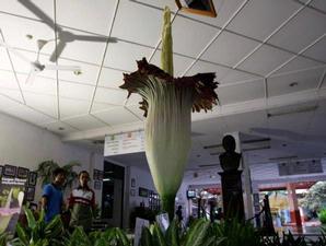 salah satu bunga BANGKAI (Amorphophallus titanum)koleksi Taman Wisata Mekarsari, terlihat berbunga, Kamis (12/11). Tanaman langka yang banyak dijumpai di Pulau Sumatera ini memiliki tinggi mencapai 2,3 meter.
